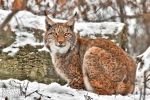 Lynx in the snow7 by brijome