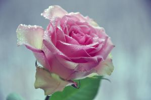 The Diamond rose by Maranzlia