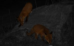Fox cubs - follow me by Steve-FraserUK