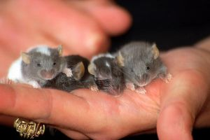 Baby mice 5 by RosieHPhotographer