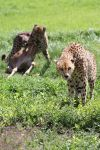Cheetah Meal Time by heatherae