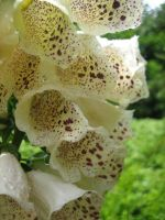 White foxglove by darchiel