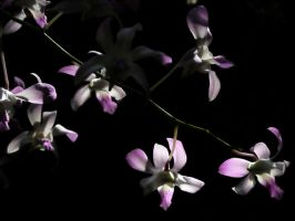 Orchids at Night by to-the-brink