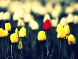 tulips by colourPD