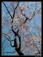 Cherry Blossoms 01 by DarthIndy