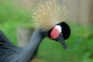 Crane- West African Crowned by prettyflour
