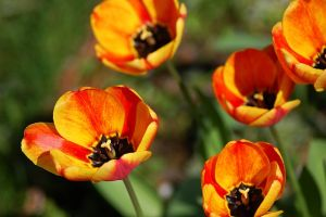 Tulips by jmphotos
