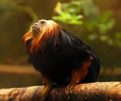 Golden Lion Tamarin by Shadow-and-Flame-86
