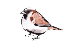 House Sparrow 1 by TomHenderson