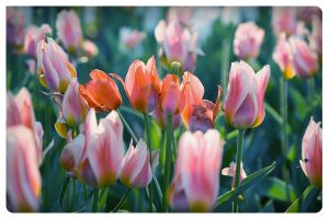 how we like tulips.... by AmirNasher
