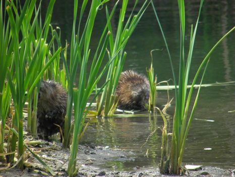 Muskrat's Eating by thescholar23