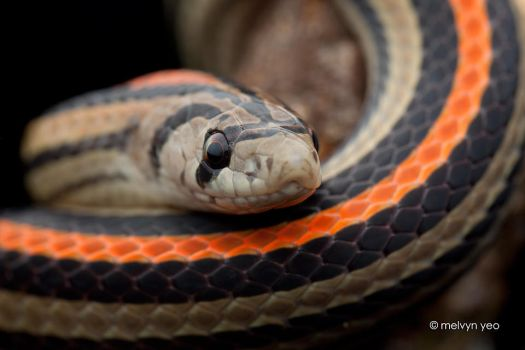 Striped Kukri Snake (Oligodon octolineatus) by melvynyeo