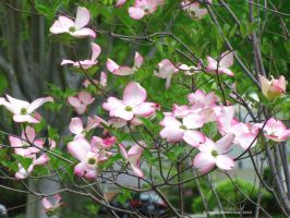 Pink Dogwood Blossoms by jim88bro