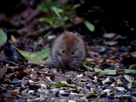 Cute little rodent - Bank Vole by OliverBPhotography