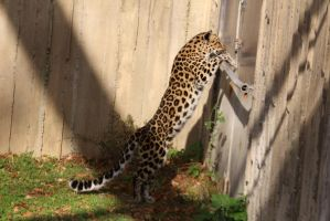 Amur Leopard Stock 24 by HOTNStock