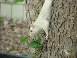 White Squirrel Stock 3 by Ahyicodae-stock