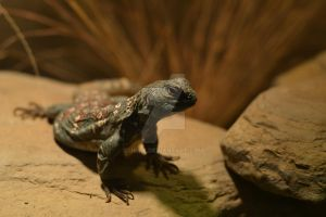 Uromastyx by jkire