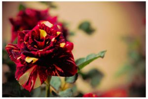 red rose by JONY-CAKEP
