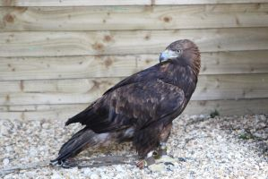 Golden Eagle by ditney