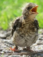 Fieldfare chick 3 by Typen