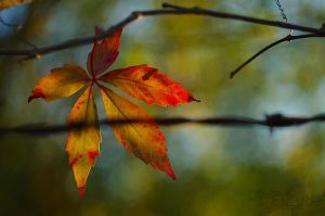 Parthenocissus by efeline