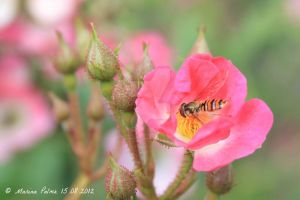 Flower bee in a pink rose. by MarinaPalme