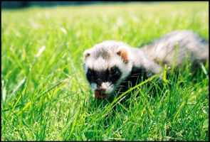 35mm ferret by LarissaAllen
