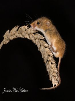 Harvester Mouse by Jamie-MacArthur