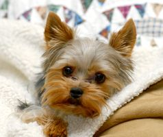Yorkie Getting Comfortable by houstonryan