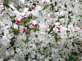 Crab Apple Blossoms #2 by EnthusiasmShared