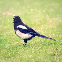 Mr. Magpie by Sarah-BK