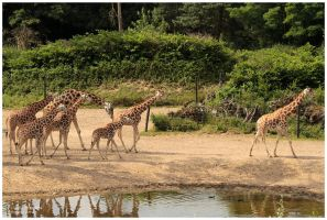 giraffes parade by Claudia008