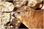 The Hermanus Hyrax by KonikPolski