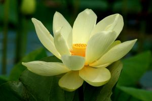 July Lotus by olearysfunphotos