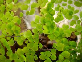 Maidenhair by marcos941