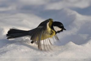 Parus major (008) - Gliding over the Snow by Sikaris