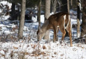 Fawn In The Winter Woods by jillybeanking