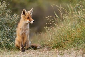 Young Fox on the Lookout by thrumyeye