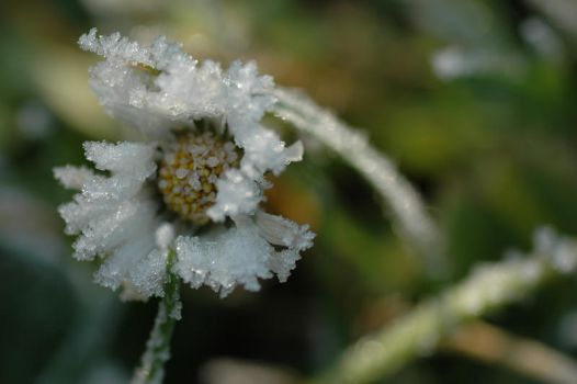Frozen Daisy by supersonnig85