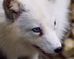 Arctic fox with blue eye by InvisibleAngle