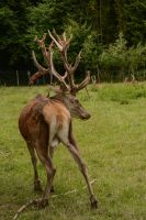 Red Deer Stag - With velvet skin falling off by LuDa-Stock