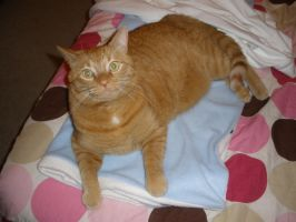 Kitty on blanket by rose134265