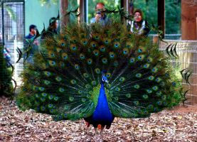 peacock_1 by soul4rent