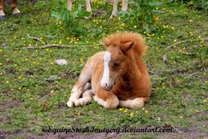 Kerry Bog Pony 2 by EquineStockImagery