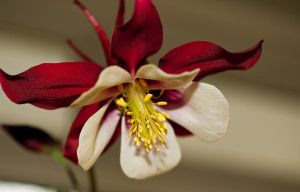 columbine by tibbet2000