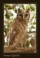 Does the Pink suit me? - Verreaux Eagle Owl by Jamie-MacArthur
