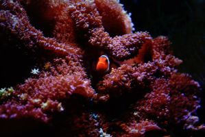 Clown Fish by TeKNoMaNiaCH