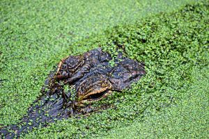 Gator Duckweed by winterface