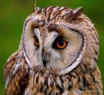 Long Eared Owl by ERB20