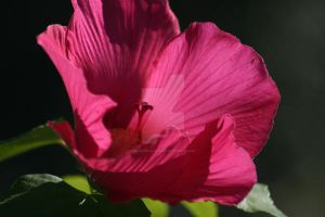 Hibiscus 2 by curlyroller